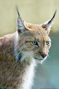 Eurasian Lynx 00003 A beautiful adult Eurasian lynx wildlife picture by Peter J  Mancus