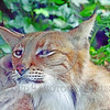 Eurasian Lynx 00030 A resting adult Eurasian lynx uses its foot to scratch an itch wildlife picture by Peter J  Mancus