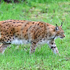 Eurasian Lynx 00026 Side view of a walking adult Eurasian lynx wildlife picture by Peter J  Mancus