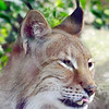 Eurasian Lynx 00009 Portrait of an adult Eurasian lynx with an exposed tooth and an extended tongue wildlife picture by Peter J  Mancus