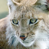 Eurasian Lynx 00019 A tight crop portrait of the sweet face of a young adult Eurasian lynx wildlife picture by Peter J  Mancus