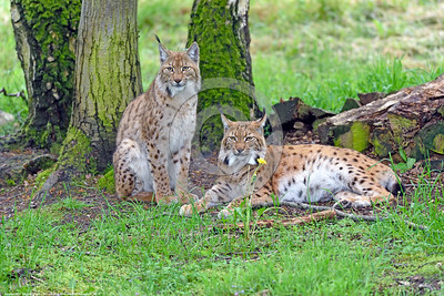 Eurasian Lynx 00007 A pair of beautiful elusive adult Eurasian lynx which are strictly carnivorous mid-size cats wildlife picture by Peter J  Mancus