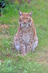 Eurasian Lynx 00001 A sitting adult Eurasian lynx poses for a picture, wildlife picture by Peter J  Mancus