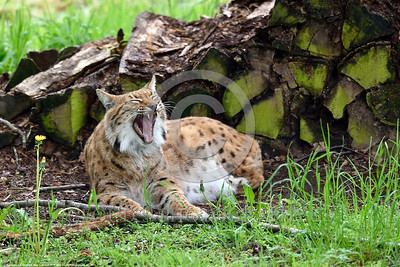 Eurasian Lynx 00004 A reclined adult Eurasian lynx by a wood pile yawns wildlife picture by Peter J  Mancus
