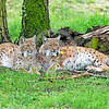 Eurasian Lynx 00022 A beautiful pair of resting adult Eurasian lynx wildlife picture by Peter J  Mancus