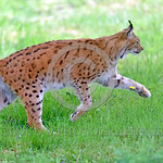 Eurasian Lynx 00008 The Eurasian lynx, which is nearly hunted to extinction, is now widely distributed in Eurpe and Asia,  wildlife picture by Peter J  Mancus
