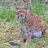 Eurasian Lynx 00024 An adult Eurasian lynx sits by its meal--a dead rodent, wildlife picture by Peter J  Mancus