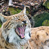 Eurasian Lynx 00020 A reclined adult Eurasian lynx by a wood pile yawns wildlife picture by Peter J  Mancus