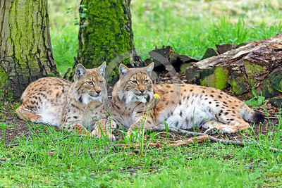 Eurasian Lynx 00014 A beautiful pair of resting adult Eurasian lynx wildlife picture by Peter J  Mancus