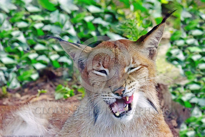 Eurasian Lynx 00025 A tight crop portrait of an adult Eurasian lynx with exposed teeth wildlife picture by Peter J  Mancus