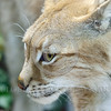 """Eurasian Lynx 00016 """"Lynx"""" is derived from a Greek word for """"to shine"""", which references the refective light ability of the lynx eyes, wildlife picture by Peter J  Mancus"""