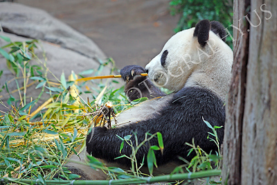 Giant Panda Bear 00002 A sitting panda bear muches bamboo by Peter J Mancus