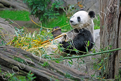 Giant Panda Bear 00003 A sitting panda bear muches on bamboo by Peter J Mancus
