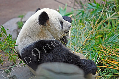 Giant Panda Bear 00005 A sitting panda bear muches on bamboo by Peter J Mancus