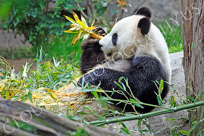 Giant Panda Bear 00004 A sitting panda bear muches on bamboo by Peter J Mancus