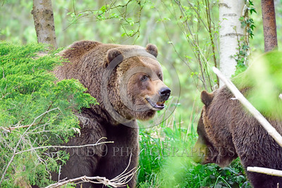 Grizzly Bear 00008 A candid picture of two grizzly bears in the forest wild animal picture by Peter J Mancus