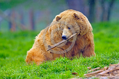 Grizzly Bear 00022 A large blonde grizzly bear with a stick in its mouth wild animal picture by Peter J Mancus