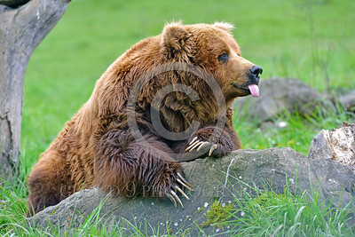 Grizzly Bear 00005 A grizzly bear with claws as long as adult human fingers sticks out its tongue wild animal picture by Peter J Mancus