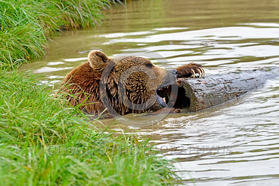 Grizzly Bear 00007 A large grizzly bear plays with a log in water wild animal picture by Peter J Mancus