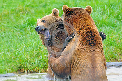 Grizzly Bear 00006 Two large grizzly bears play fight in water wild animal picture by Peter J Mancus