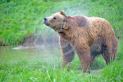 Grizzly Bear 00010 A grizzly bear vigorously shakes off water after swimming in a big pond wild animal picture by Peter J Mancus