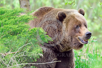 Grizzly Bear 00023 A grizzly bear in the forest wild animal picture by Peter J Mancus