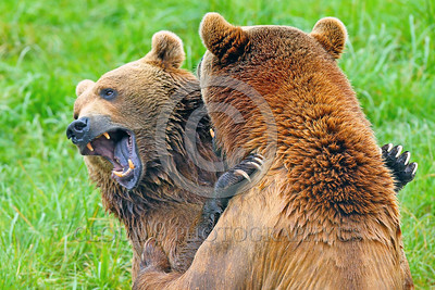 Grizzly Bear 00021 Two large grizzly bears play fight in water wild animal picture by Peter J Mancus