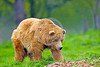 Grizzly Bear 00003 A large blonde colore grizzly bear walks in the midst of a light drizzle in lush green grass wild animal picture by Peter J Mancus