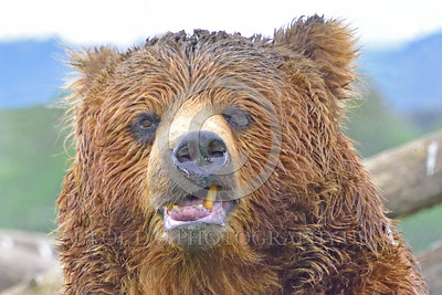 Grizzly Bear 00020 Portrait of a snarly grizzly bear with a broken lower right incisor tooth wild animal picture by Peter J Mancus