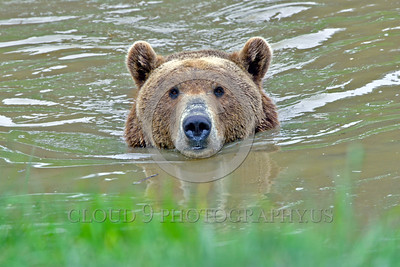 Grizzly Bear 00004 Portrait of a swimming grizzly bear in dirty light brown water wild animal picture by Peter J Mancus