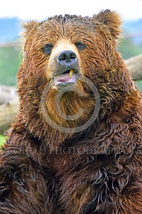 Grizzly Bear 00001 Portrait of a snarly grizzly bear wild animal picture by Peter J Mancus