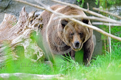 Grizzly Bear 00009 A grizzly bear walking in the forest wild animal picture by Peter J Mancus