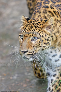 Leopard 00017 Portrait of a beautiful adult leopard wildlife picture by Peter J  Mancus