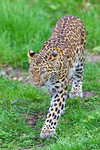 Leopard 00003 A walking adult leopard wildlife picture by Peter J  Mancus
