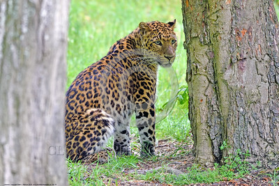 Leopard 00002 An adult leopard sitting between two trees wildlife picture by Peter J  Mancus