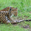 Leopard 00022 An adult leopard scratching itself wildlife picture by Peter J  Mancus