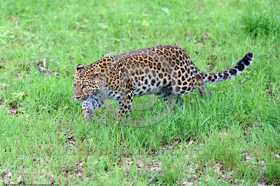 Leopard 00024 A stalking adult leopard wildlife picture by Peter J  Mancus