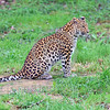 Leopard 00010  An adult leopard with curled tail tip sitting on ground wildlife picture by Peter J  Mancus