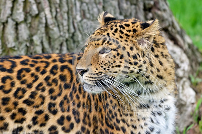 Leopard 00023 A tight crop portrait of an adult leopard with long whiskers wildlife picture by Peter J  Mancus