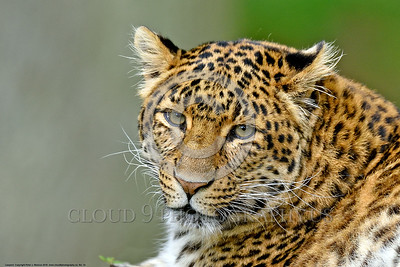 Leopard 00014 A tight crop portrait of a sleepy resting adult leopard wildlife picture by Peter J  Mancus