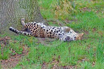 Leopard 00008 An upside down adult leopard in a playful mood rests under a huge tree wildlife picture by Peter J  Mancus