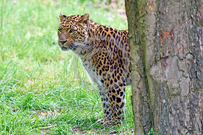 Leopard 00011 A tight crop portrait of a beautiful adult leopard wildlife picture by Peter J  Mancus