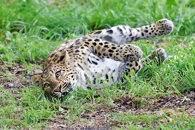 Leopard 00013 An adult leopard in a playful mood wildlife picture by Peter J  Mancus