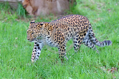 Leopard 00005 A beautiful walking adult leopard wildlife picture by Peter J  Mancus