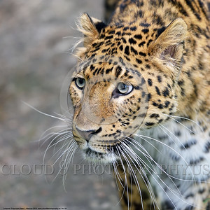 Leopard 00004 A tight crop portrait of an adult leopard wildlife picture by Peter J  Mancus