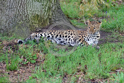 Leopard 00025 A beautiful adult leopard relaxes under a big tree wildlife picture by Peter J  Mancus