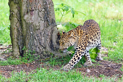 Leopard 00007 An adult leopard walks and turns near a tree wildlife picture by Peter J  Mancus