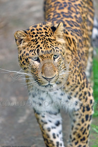 Leopard 00019 A walking adult leopard wildlife picture by Peter J  Mancus