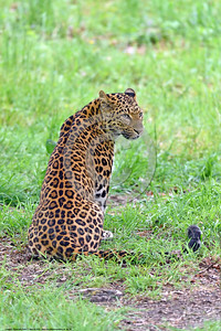 Leopard 00001 A beautiful sitting adult leopard wildlife picture by Peter J  Mancus