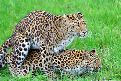 Leopard 00018 A pair of leopards copulating wildlife picture by Peter J  Mancus